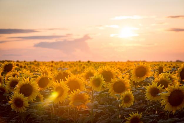ひまわりの風景。夕日に対して美しい熟した咲くひまわり Premium写真