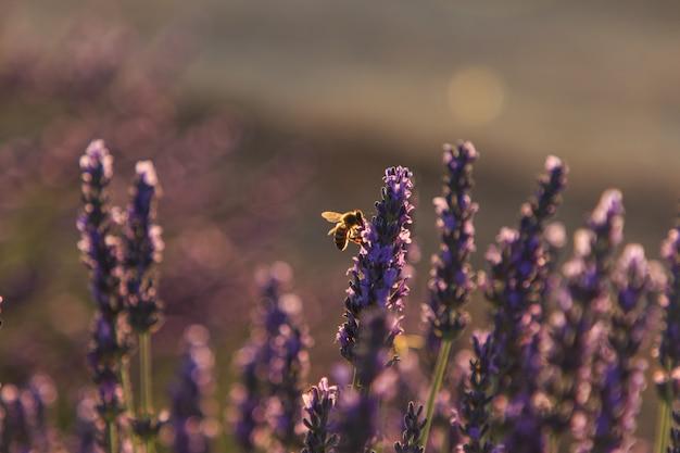 ラベンダー畑で蜜を食べるミツバチ。昆虫のコンセプト Premium写真