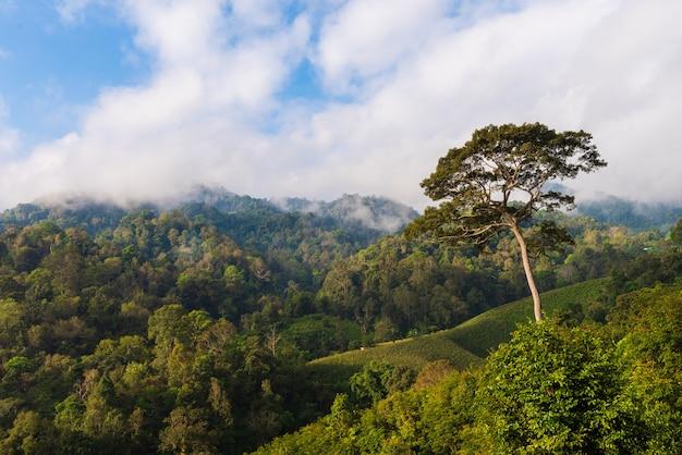 Большое дерево в лесу с туманом и голубым небом Premium Фотографии