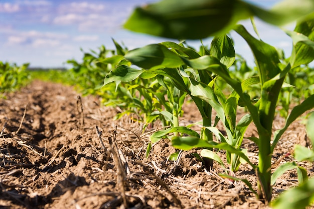 トウモロコシを植えた耕作地の溝 Premium写真