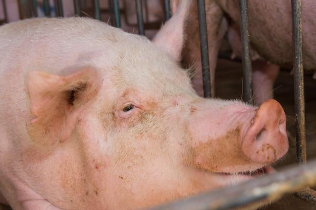 その肉を消費する工業用豚孵化場 Premium写真