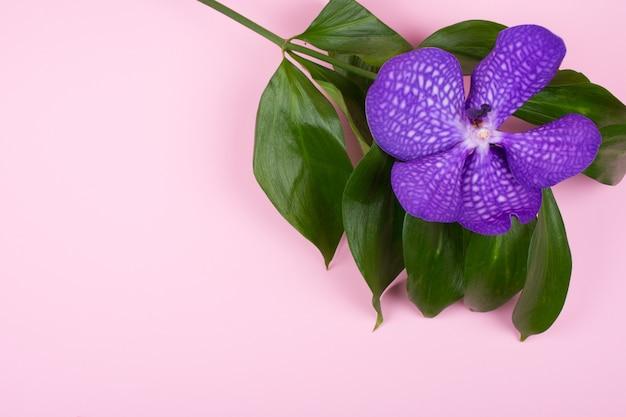 パステルピンクの背景に紫の蘭の花 Premium写真