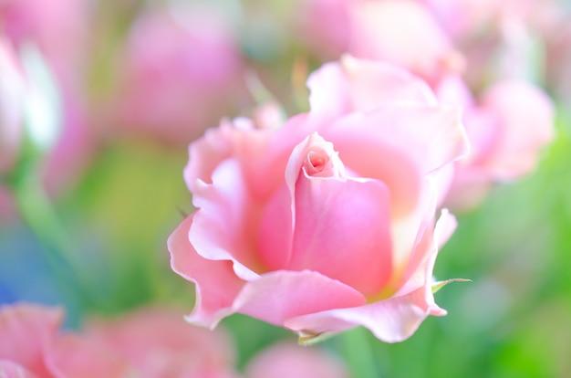 Красивые мягкие фокусные розовые розы на солнце как размытые цветочные розы Premium Фотографии