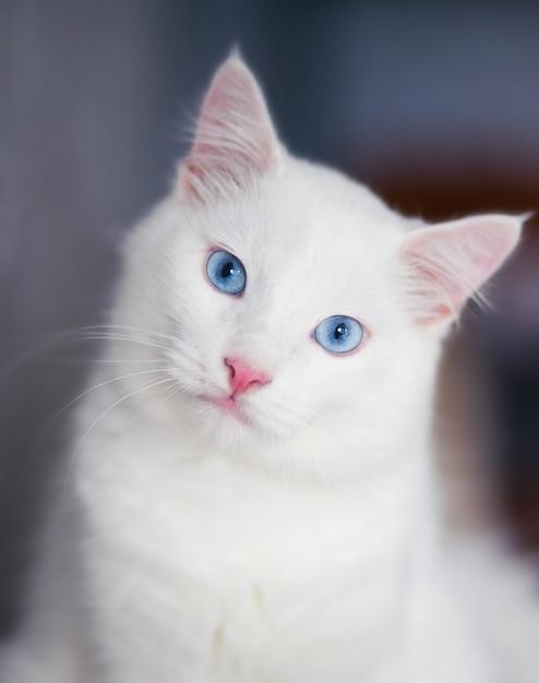 青い目のふわふわ白猫のクローズアップの肖像画 Premium写真
