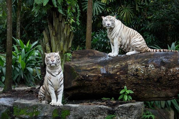 Белые бенгальские тигры в джунглях Premium Фотографии