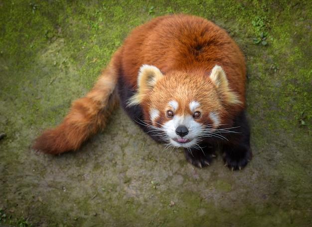 レッサーパンダが見上げる Premium写真