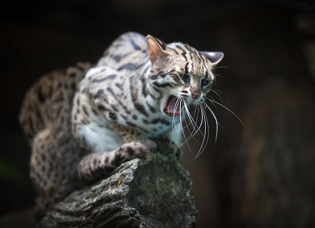 Злой леопардовый кот говорит мяу Premium Фотографии