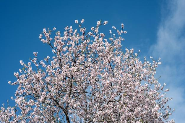 Верхняя часть миндального дерева с белыми цветками против голубого неба Premium Фотографии