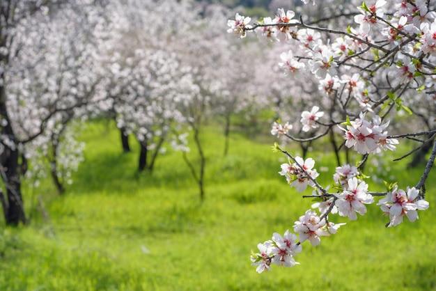 Ветвь цветущего миндального дерева над зеленой травой и миндальным садом с селективным фокусом и копией пространства Premium Фотографии