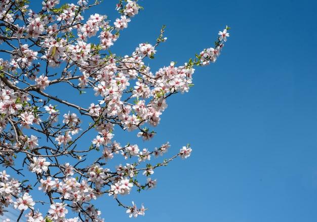 Миндальное дерево цветы в весеннее время против ясного голубого неба. Premium Фотографии