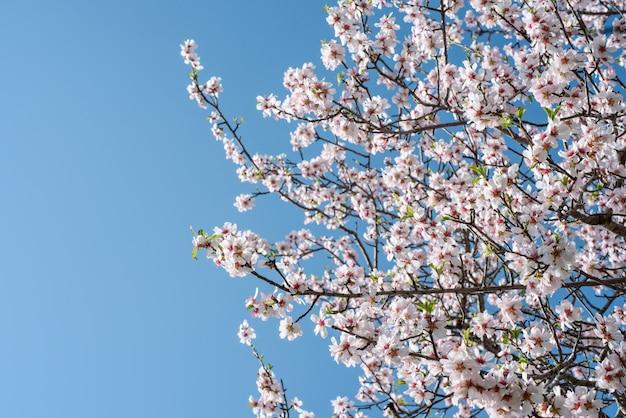 Цветущие миндальные ветви над ясным голубым небом с копией пространства Premium Фотографии