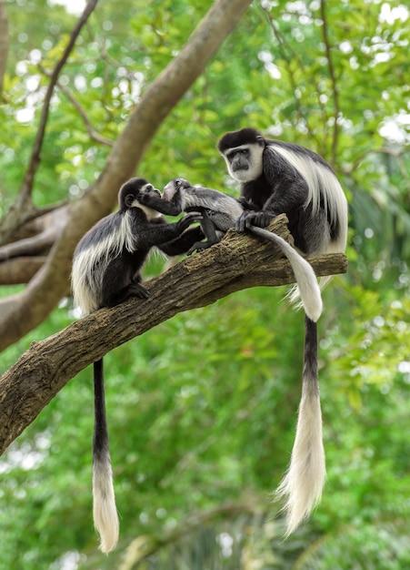 Семья черно-белых колобусов сидит на ветке дерева Premium Фотографии
