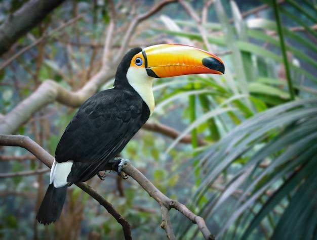 Тукан сидит на ветке дерева с джунглями Premium Фотографии