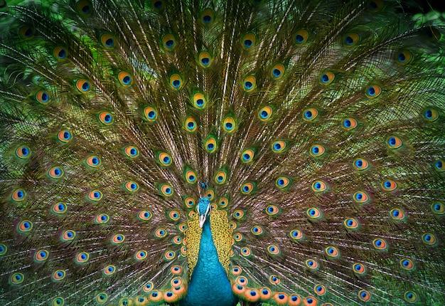 孔雀は彼の美しい尾を表示します Premium写真