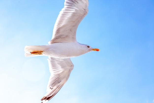 空に浮かぶ白いカモメ。鳥の飛行。青い空を背景にカモメ Premium写真