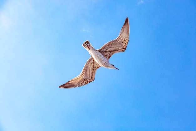 空に浮かぶ白いカモメ。鳥の飛行。青い空にカモメ Premium写真