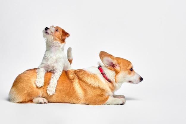 Собаки играют в студии на белой стене, смотрят на верхушку джек рассел терьера и вельш корги Premium Фотографии