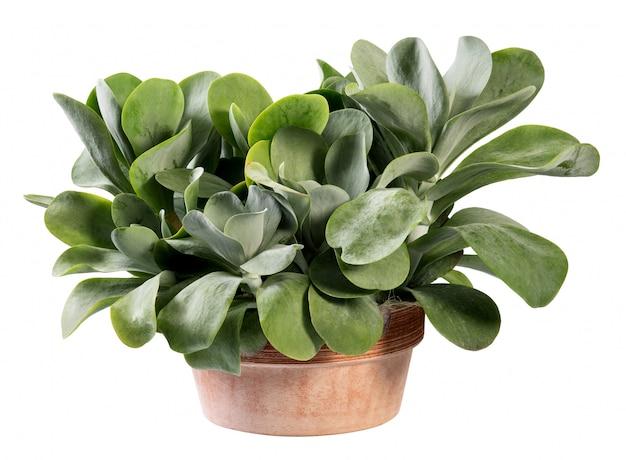 テラコッタ鍋のカランコエティルシフロラ植物 Premium写真