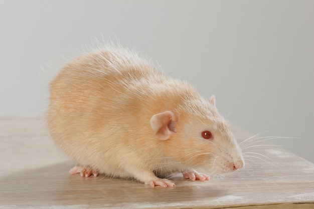 獣医の医師は、診療所で小さなネズミの検査を行っています。 Premium写真