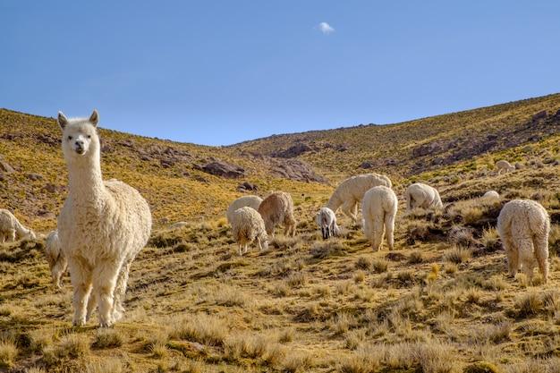 Группа альпак в перу Premium Фотографии