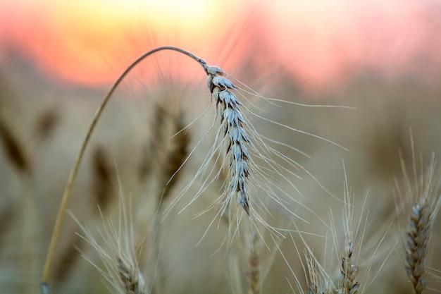 麦畑の小麦の頭 Premium写真