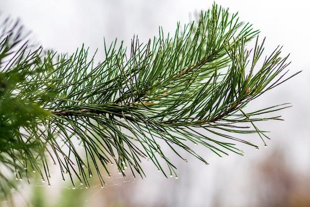 松の木の針と水滴のクローズアップ Premium写真