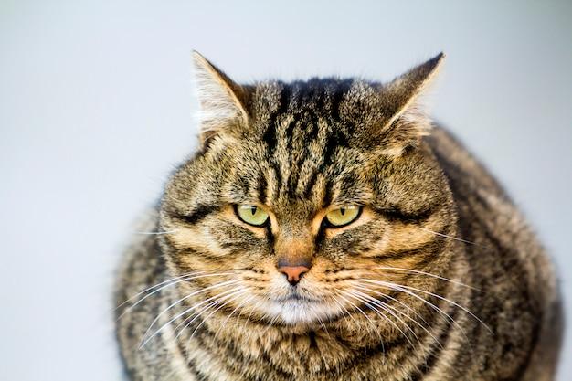 緑色の目で太った縞模様の猫の肖像画 Premium写真
