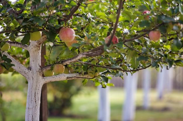 Большие славные яблоки зрея на побеленных яблонях в солнечном саде сада на запачканной зеленой предпосылке. Premium Фотографии