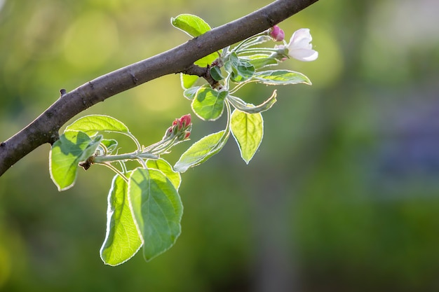 Цветущая ветка яблони. белый цветок, розовые бутоны и ярко-зеленые маленькие листья на фоне копии пространства боке. Premium Фотографии