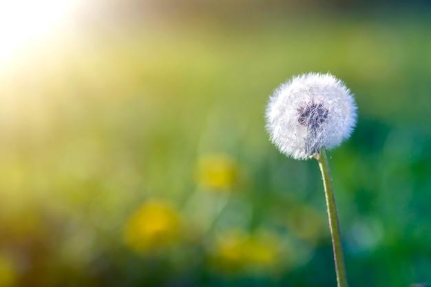 ぼやけた緑のボケの高い茎に単独で立っている小さな黒い種子と美しい誇張された白いふくらんでいる花タンポポのクローズアップ写真。自然概念の美しさと優しさ。 Premium写真