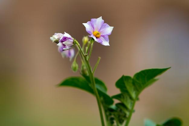 Конец-вверх изолировал светло-фиолетовые цветки картошки освещенные утренним солнцем зацветая на высоких стержнях в поле фермы на запачканной туманной мягкой предпосылке. концепция сельского хозяйства и сельского хозяйства. Premium Фотографии