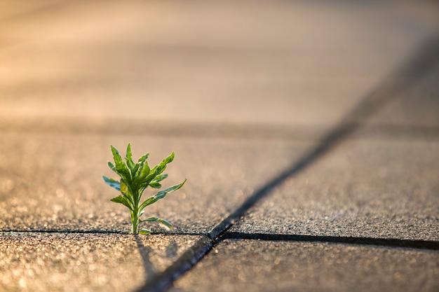 Закройте вверх молодого маленького зеленого растения начиная вырасти между бетонными плитками весной. начало новой жизненной концепции. Premium Фотографии