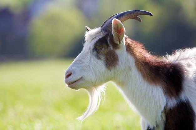 白と茶色のむらがある国内毛むくじゃらのヤギのクローズアップの肖像画。長く急な角、黄色の目、ぼやけた黄色と青のボケの背景に白ひげ。有用な動物の概念の養殖。 Premium写真
