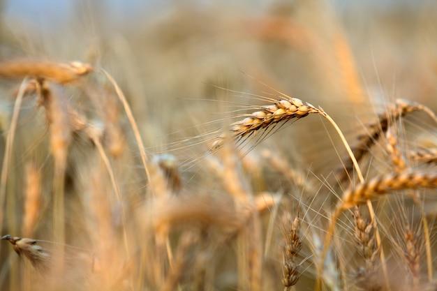 日当たりの良い夏の日に温かみのある黄金色の熟したフォーカス小麦の頭のクローズアップ。 Premium写真