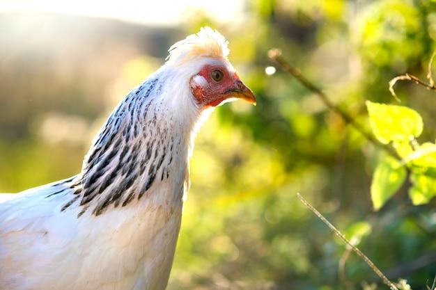Куры питаются традиционным сельским скотным двором. деталь куриной головы. закройте вверх цыпленка стоя на дворе амбара с курятником. цыплята сидят в курятнике. концепция птицеводства свободного выгула. Premium Фотографии