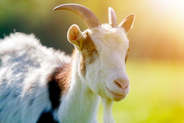 白と茶色のむらがある国内の毛むくじゃらのヤギのクローズアップの肖像画。有用な動物の概念の養殖。 Premium写真