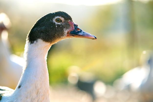 アヒルの頭の詳細。アヒルは伝統的な農村の納屋を食べます。納屋の庭に立っている水鳥のクローズアップ。放し飼い養鶏のコンセプトです。 Premium写真