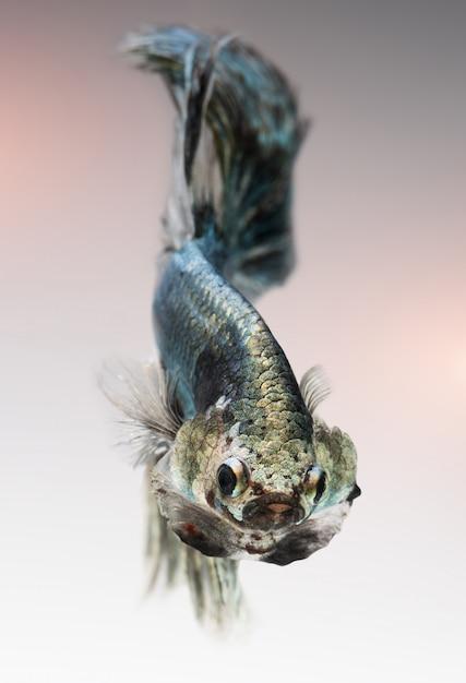 Серебристо-золотисто-медный цвет бетта рыбы. Premium Фотографии