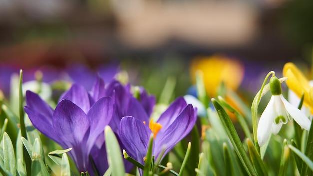 花サクラソウクロッカススノードロップの背景 Premium写真