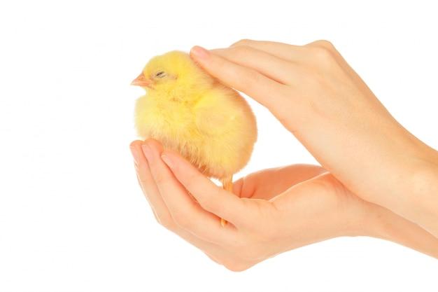 小さなひよこを保持している女性の手 Premium写真
