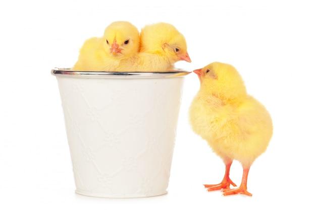 白い背景に分離された小さな新生児鶏 Premium写真