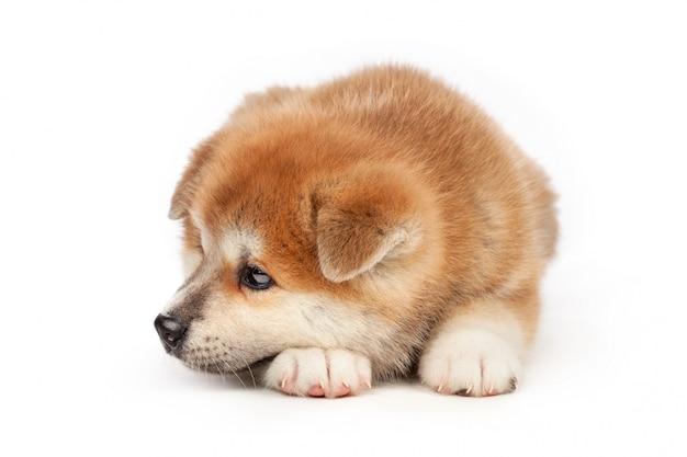白の秋田犬子犬犬 Premium写真
