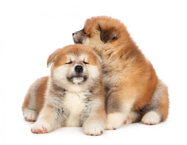 秋田犬子犬 Premium写真