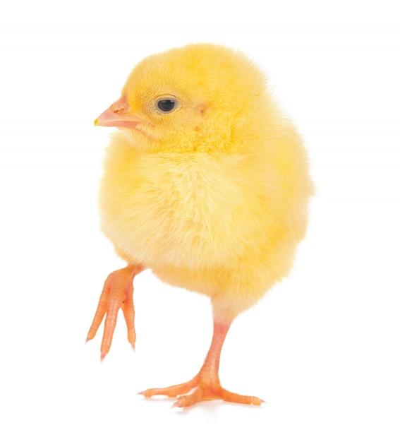 分離されたかわいい小さな鶏 Premium写真