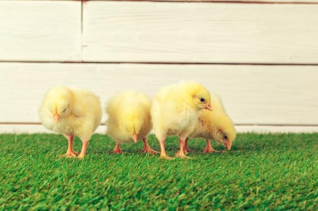 草の上の小さな鶏 Premium写真