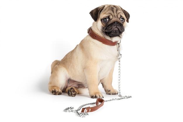 パグ犬、白で隔離 Premium写真