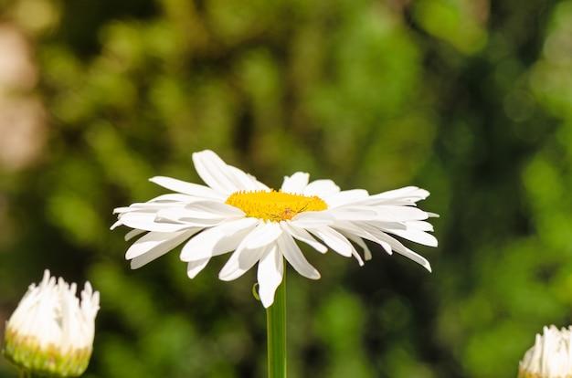 Большой цветок ромашки расцветает в саду. Premium Фотографии
