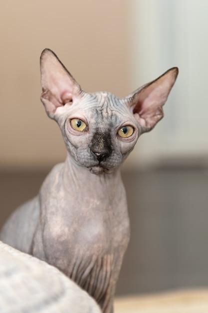 自宅で髪のない猫のスフィンクスの肖像画。 Premium写真