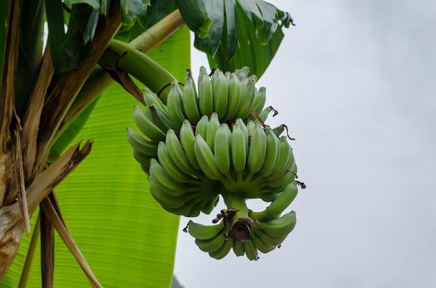Ветка с бананами Premium Фотографии