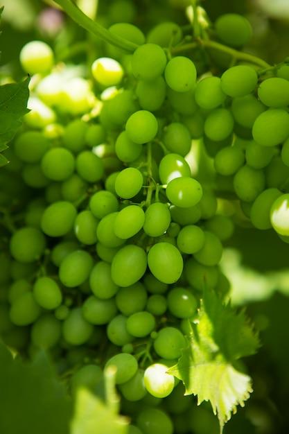 ブドウ園の緑のブドウのグロノ。 Premium写真